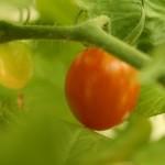 Tomato Success!