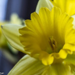 Photo Friday – Daffodil