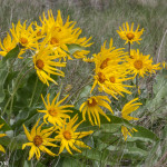 Photo Friday – Arrow-Leaved Balsamroot