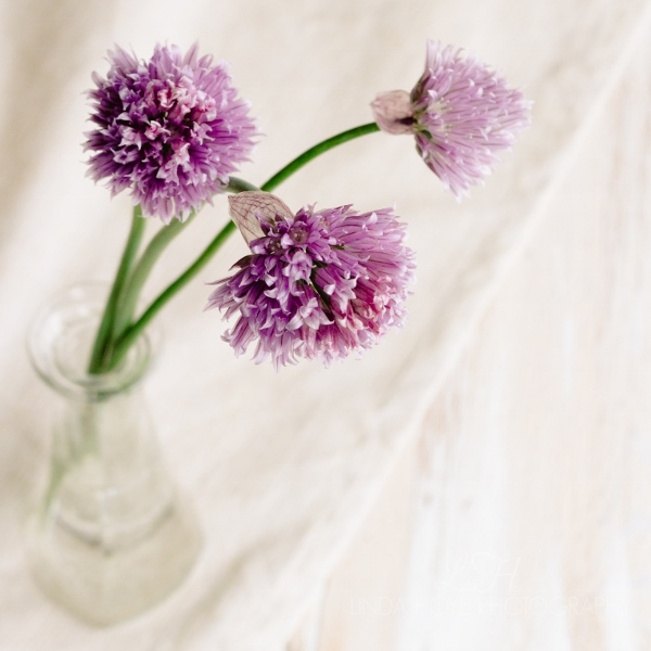 2016-05-18 Chive Blossoms - watermarked-1-2 (600x600)